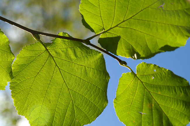 feuilles de noyer